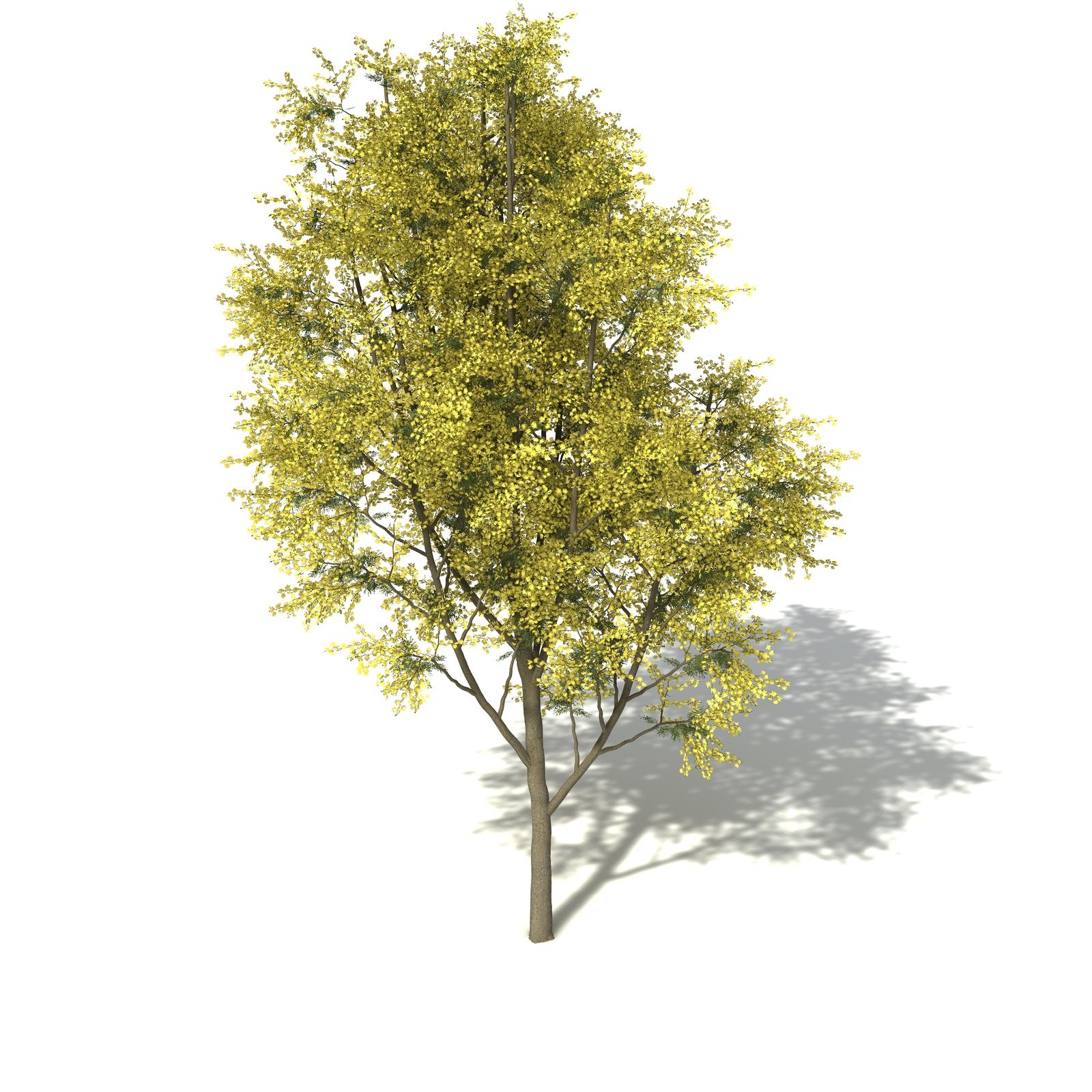 Xfrog Trees Silver Wattle
