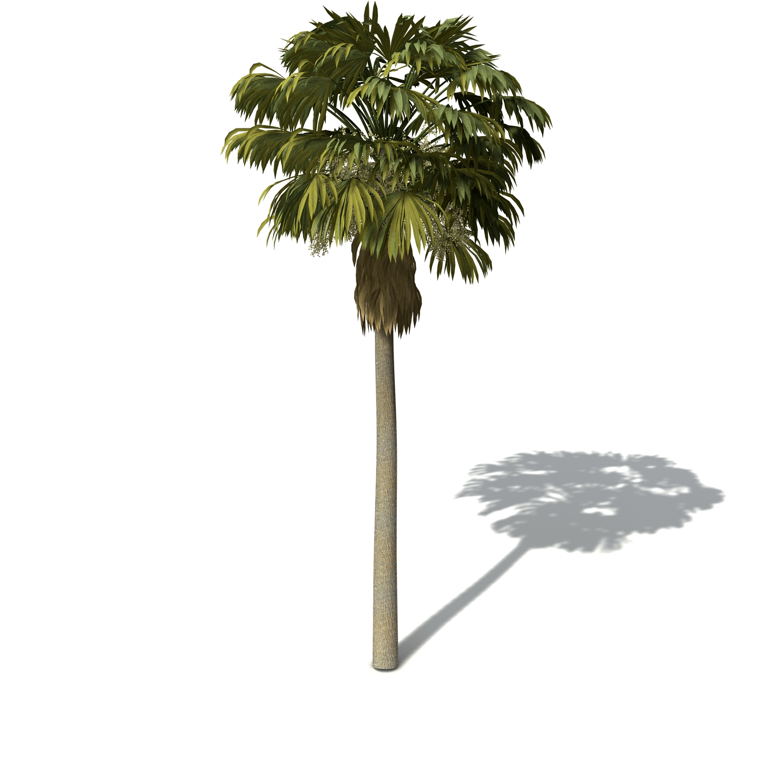 Xfrog Trees Australian Cabbage Palm