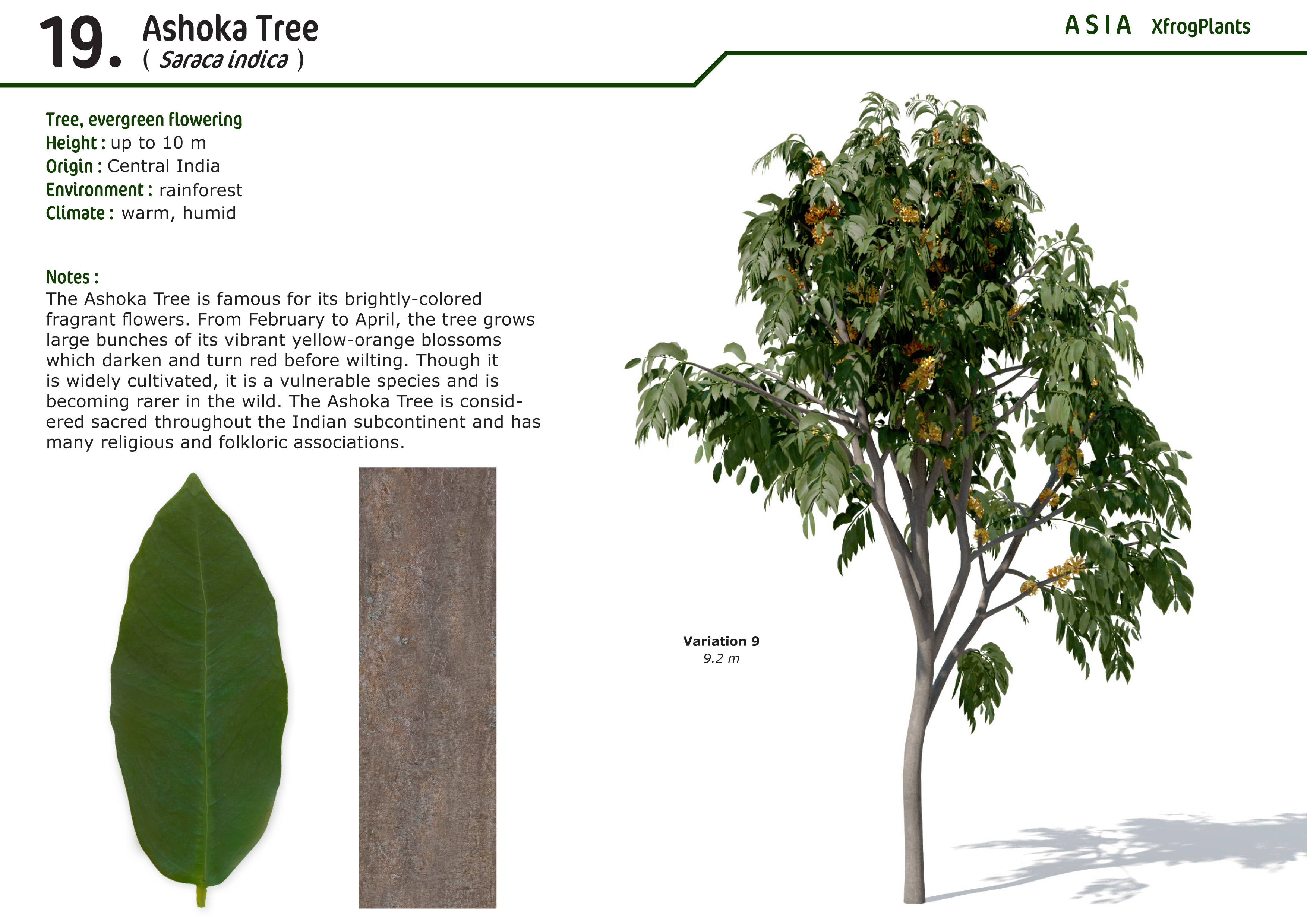 ashoka tree One of the most sacred and ancient trees of india ashok is a sanskrit word  meaning sorrow-less the tree is believed to be capable of.