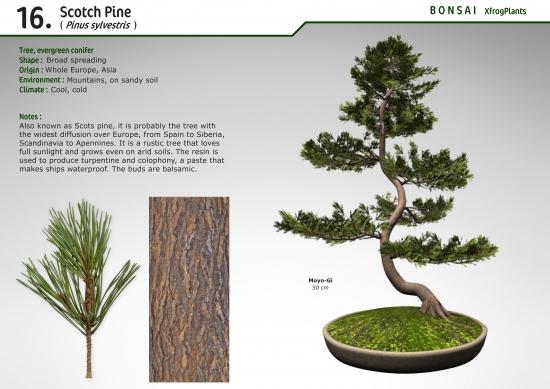 Xfrogplants Scotch Pine Xfrog Com