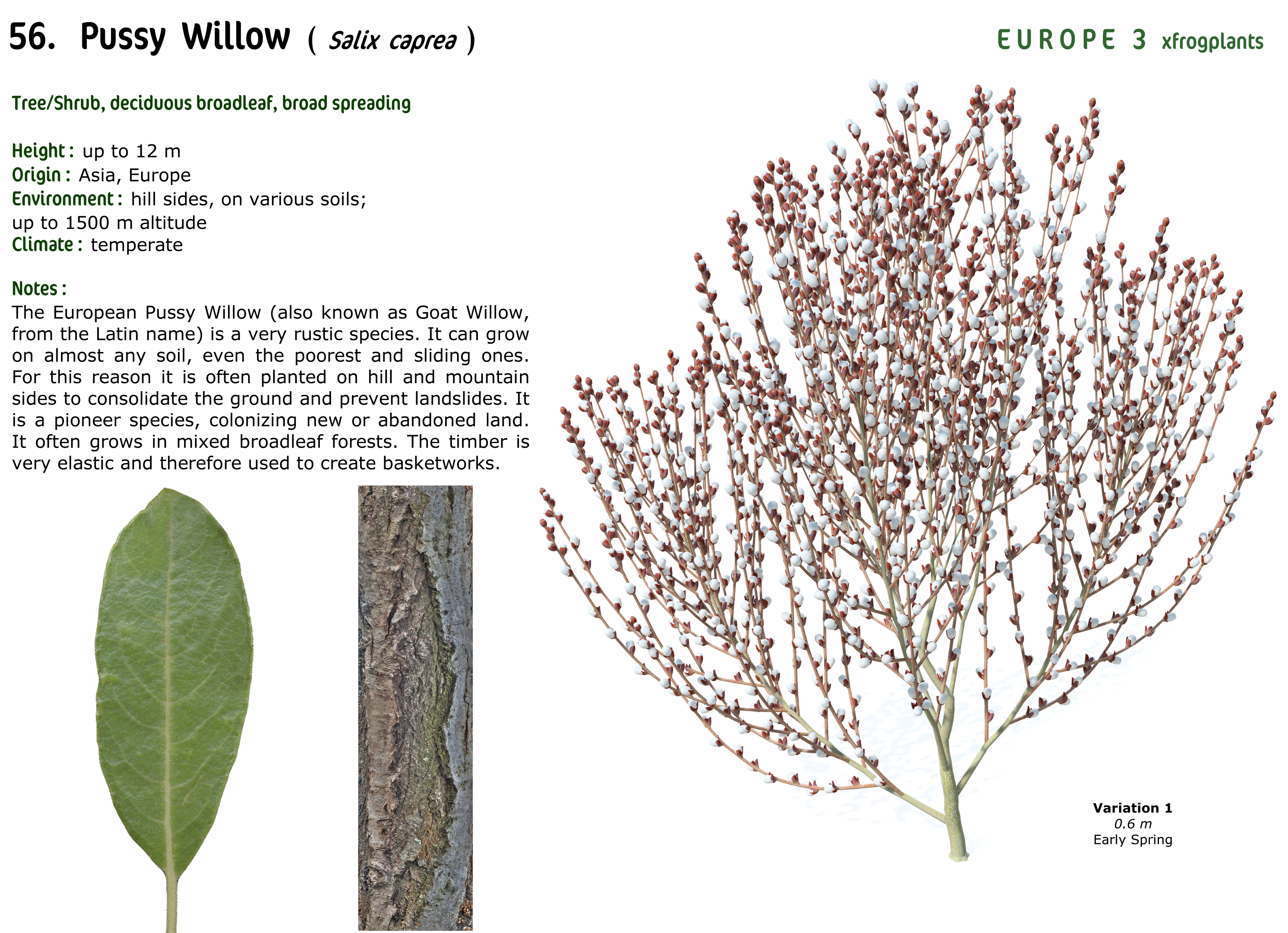 pussy willow photos