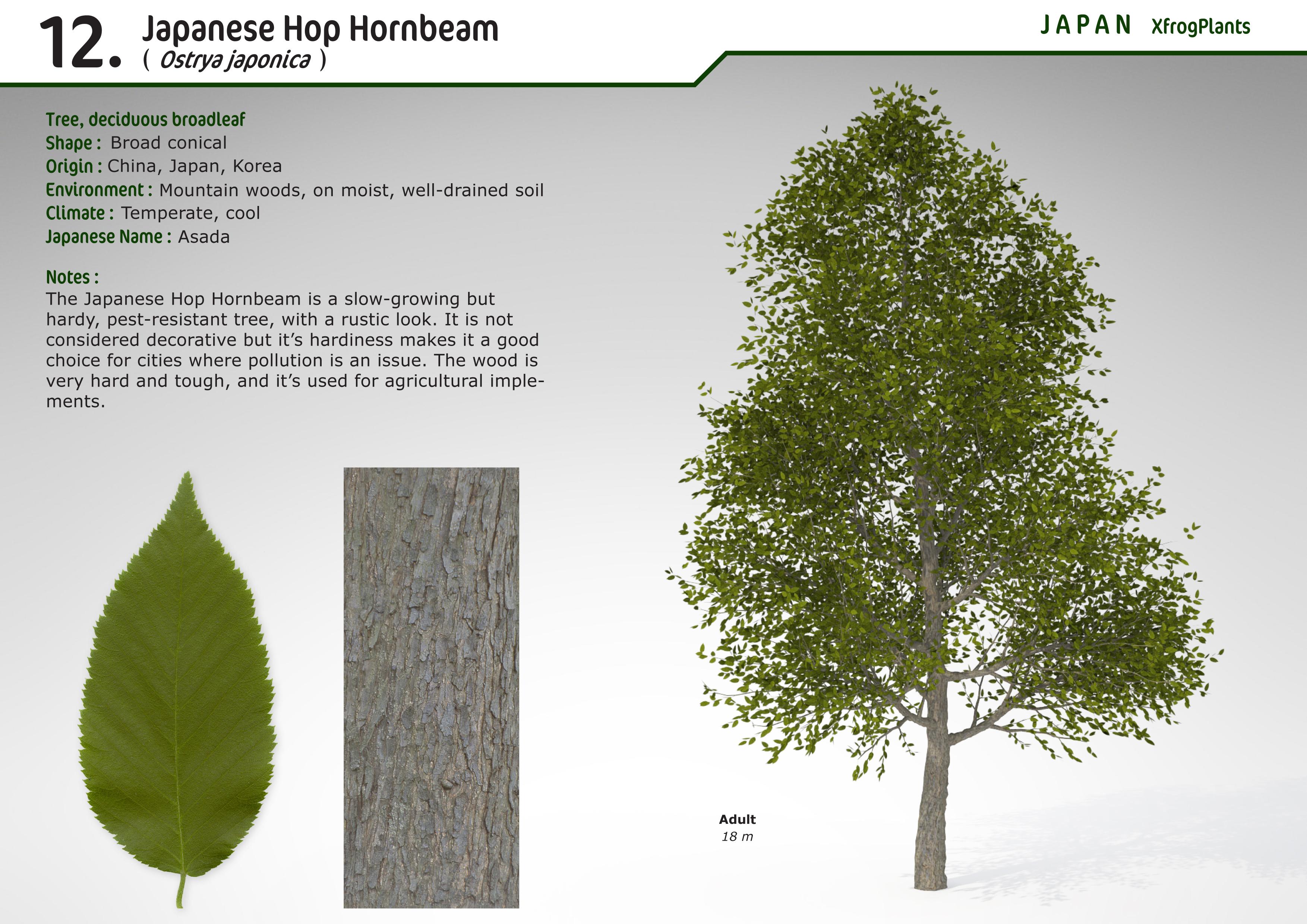 XfrogPlants Japanese Hop Hornbeam : Xfrog com