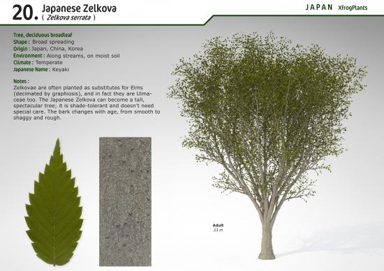 Xfrogplants japanese zelkova xfrog xfrogplants japanese zelkova altavistaventures Gallery