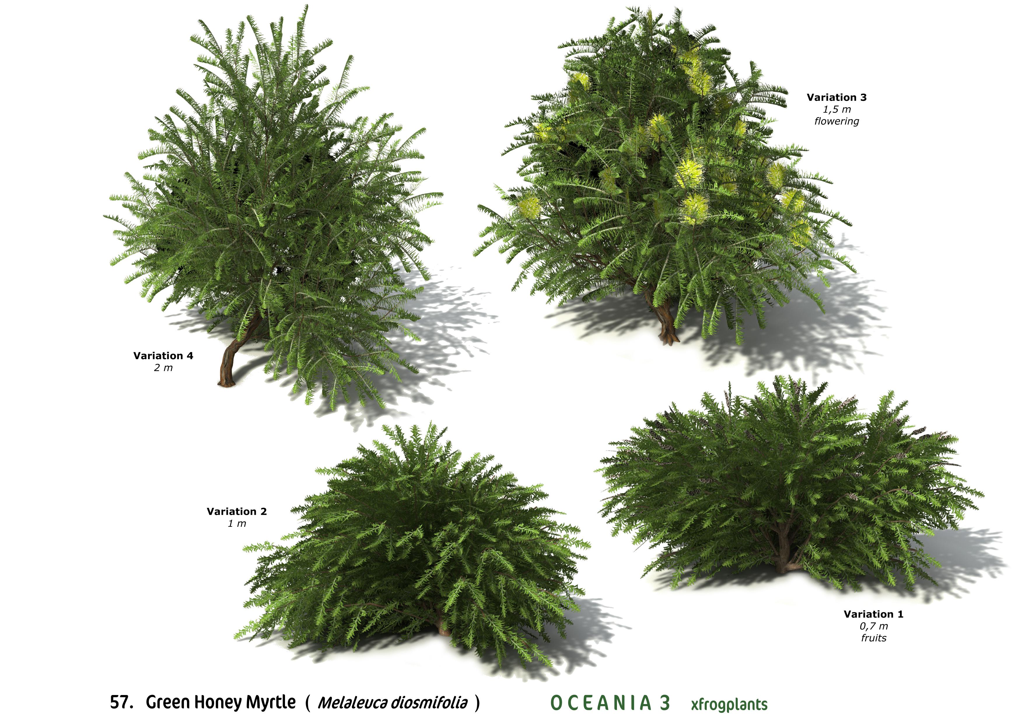 XfrogPlants Green Honey Myrtle : Xfrog.com